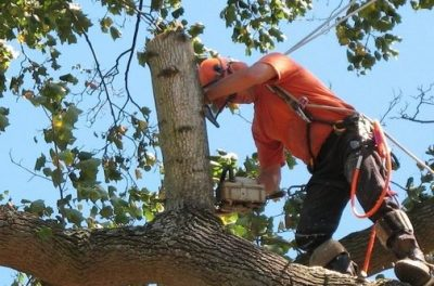 Picture of tree branches being cut from a large tree in Charleston, SC.